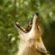 Coyote Portrait Howling — Stock Photo #6205123