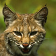 Bobcat Portrait — Stock Photo