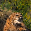 Bobcat Snarling — Stock Photo #6207045