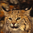 Stock Photo: Bobcat Portrait