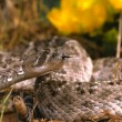 Stock Photo: Diamondback Rattlesnake