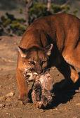 Kotěcí nošení puma — Stock fotografie