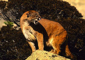 Mountain Lion Snarling — Stock Photo