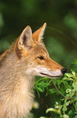 Coyote Portrait — Stock Photo