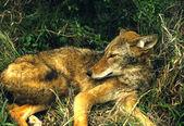 Kojot osobowy — Zdjęcie stockowe
