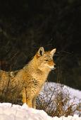 Coyote in Winter — Stock Photo