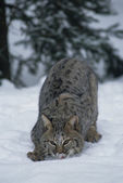 Bobcat in Winter — Stock Photo