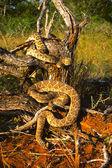Diamondback Rattlesnakes Coiled — Stock Photo