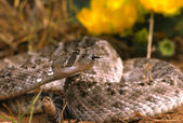 Diamondback Rattlesnake — Stock Photo