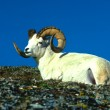 Dall Sheep Ram — Stock fotografie #6210137