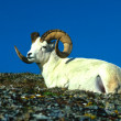 Dall Sheep Ram — Photo #6210137