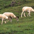 Foto Stock: Dall Sheep Rams
