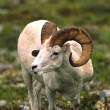 Dall Sheep Ram — Photo #6210787