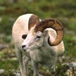 Stock Photo: Dall Sheep Ram