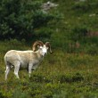 Dall Sheep Ram - Stock Photo