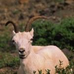 Dall Sheep Ewe — Stock Photo