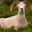 Dall Sheep Ram — Stock fotografie