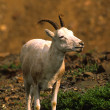 Dall Sheep Ewe — Stock fotografie #6211293