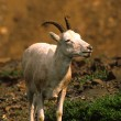 Foto de Stock  : Dall Sheep Ewe