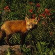 Red Fox Pup — Stock Photo #6213546