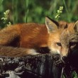 Red Fox Pup — Stock Photo #6213853