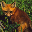 Red Fox Pup — Stock Photo #6214147