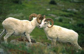Dall Sheep Rams Sparring — Stock Photo