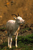 Dall Sheep Ewe — Zdjęcie stockowe