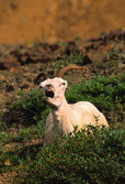 Dall ovejas oveja — Foto de Stock