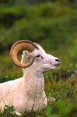 Dall koyunu ram — Stok fotoğraf