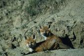 Red Fox Pups — Stock Photo