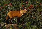 红狐狸的小狗 — 图库照片