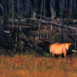 Bull Elk in Meadow — Stock Photo