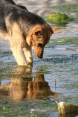 The dog looking in water — Stock Photo