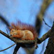 The squirrel sitting on a branch of a tree with a nut — Stock Photo #5870865