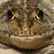 Stock Photo: Frog close up (макро), front view