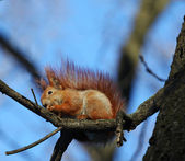 The squirrel sitting on a branch of a tree with a nut — Stock Photo