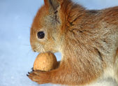 The squirrel gnawing a walnut in the winter — Stock Photo