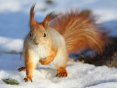 The squirrel sitting on snow, close up — Stock Photo