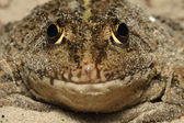 Frog close up (макро), the front view — Stock Photo
