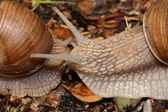 Two snails (macro) creep towards each other — Stock Photo