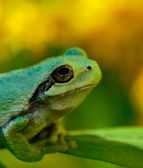 Green tree frog upper body — Stock Photo
