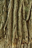 Oak tree bark pattern — Stock Photo