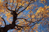 Yellow Fall Leaves and Tree up Against Blue Sky — Stock Photo