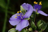 A prairie spiderwort flower side view. — Stock Photo