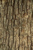 Maple bark study. — Stock Photo