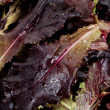 Red leaf lettuces — Stock Photo