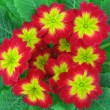 Primula. - Stock Photo