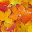 Autumn maple leaves. - 