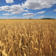 Field of ripe wheat. — Stock Photo